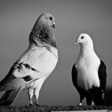 یک دقیقه برای یک عمر : کبوتر با کبوتر …